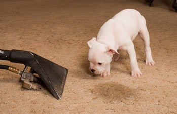HOW TO REMOVE PET URINE STAINS FROM YOUR CARPETS ?